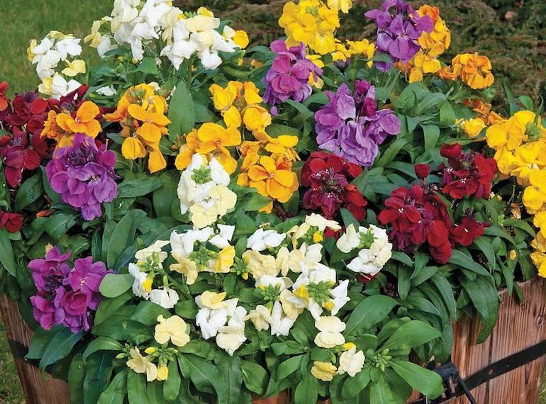 multicoloured wallflowers in a bucket