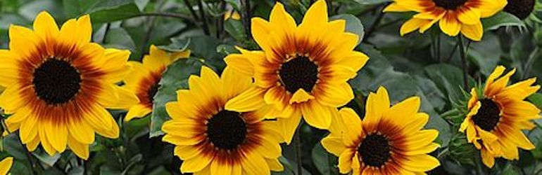 award-winning-plants-seeds-sunflowers-browneyedgirl