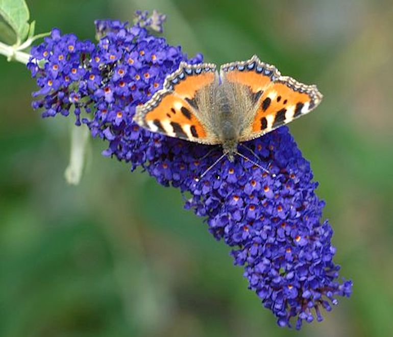 award-winning-plants-seeds-buddleja-buzz