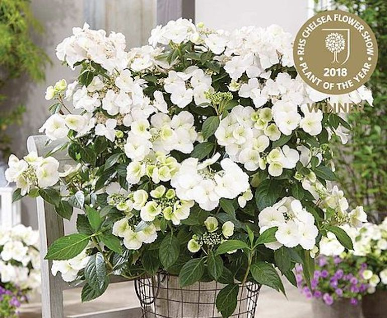 award-winning-plants-seeds-hydrangea-runaway-bride