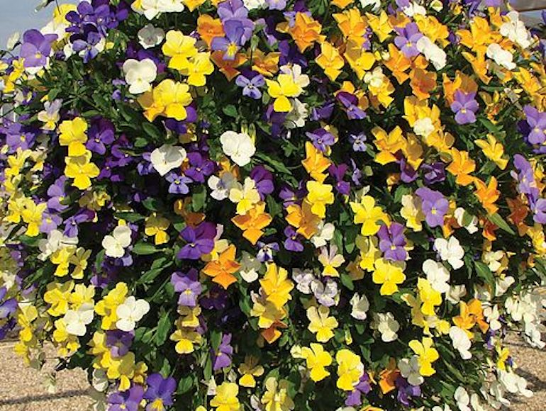 award-winning-plants-seeds-pansy