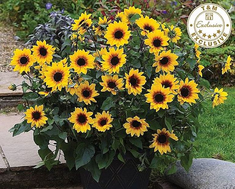 award-winning-plants-seeds-sunflower