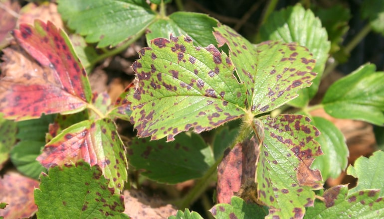 red leaf spot covering plants