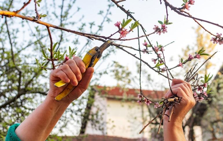 hand cutting down a peach tree