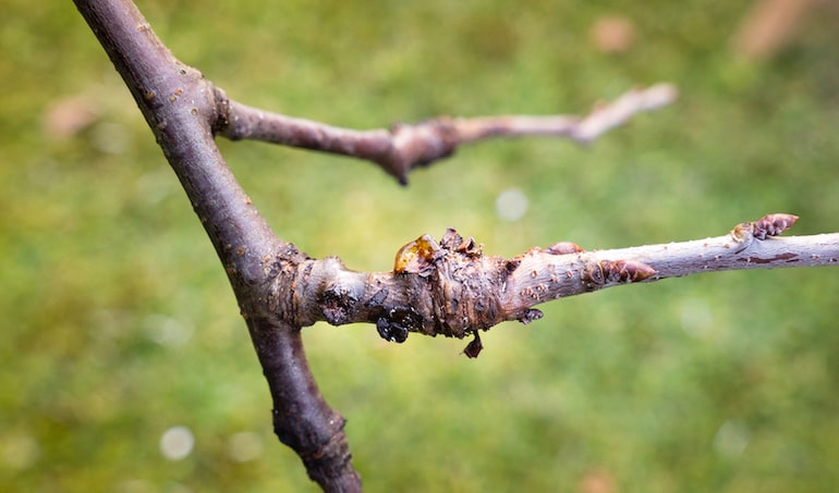 cherry tree with obvious sign of bacterial canker