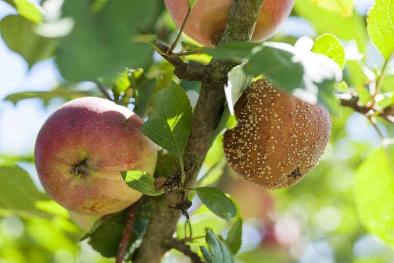 apple with obvious sign of brown rot on the fruit