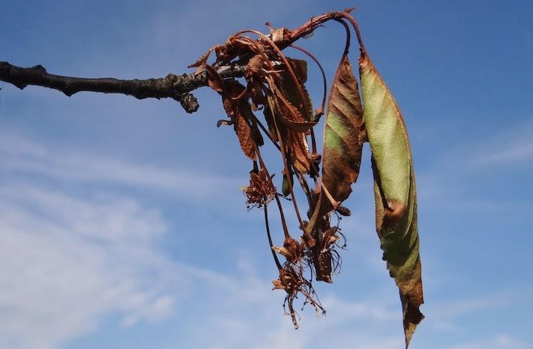 Monilinia laxa on Cerasus vulgaris