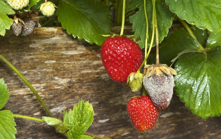 Obvious sign of botrytis on strawberries