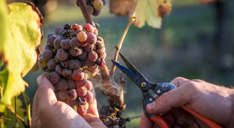 Botrytis damaged grapes being cut away from the branch