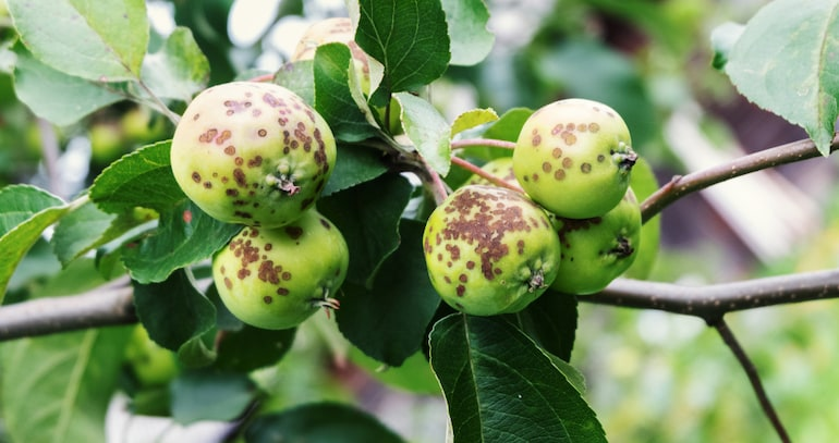 apple covered in brown rot spots