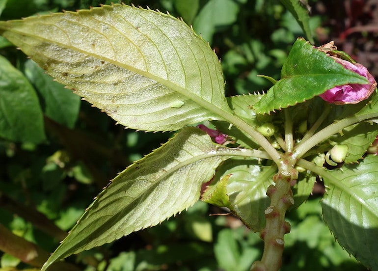 closeup of a leaf affected by downy mildew