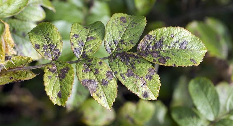 closeup of rose blackspot