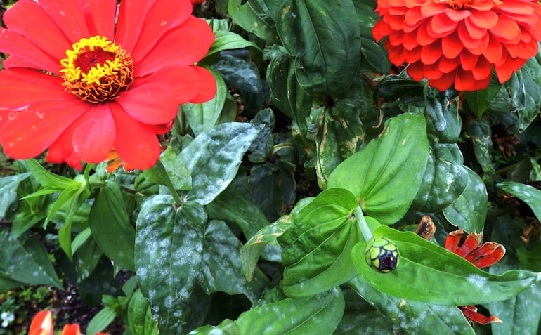 zinnia with white spots signalling fungal disease