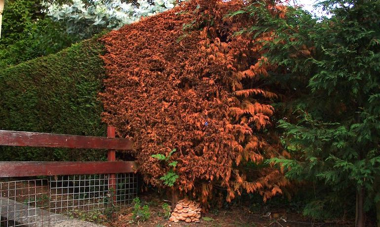 hedge affected by honey fungus damage