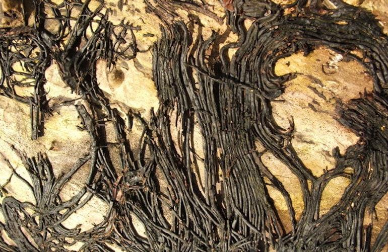 Black rhizomorphs of the honey fungus virus