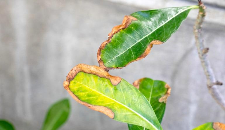 signs of leaf scorch on green leaf