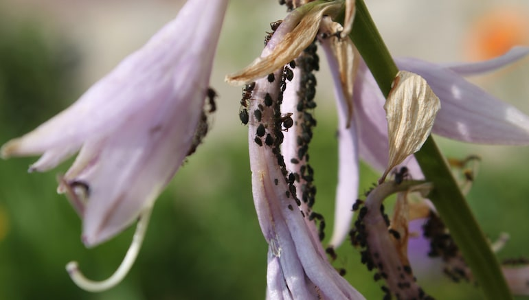 black aphids on lilies
