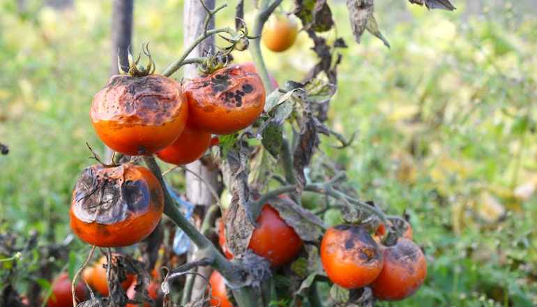 blight on tomatoes in a garden