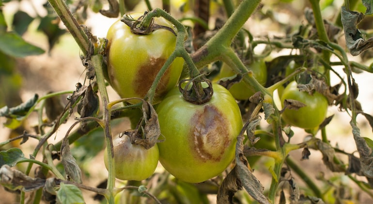 green tomatoes infected with blight showing brown spots on fruit