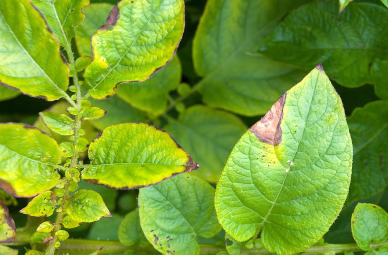 first signs of potato blight on infected leaves