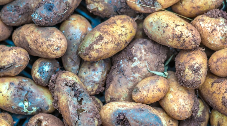 potato with obvious signs of blight