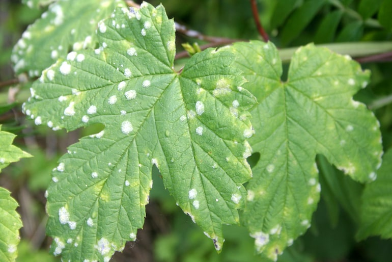 small white spots on leaves indicating powdery mildew