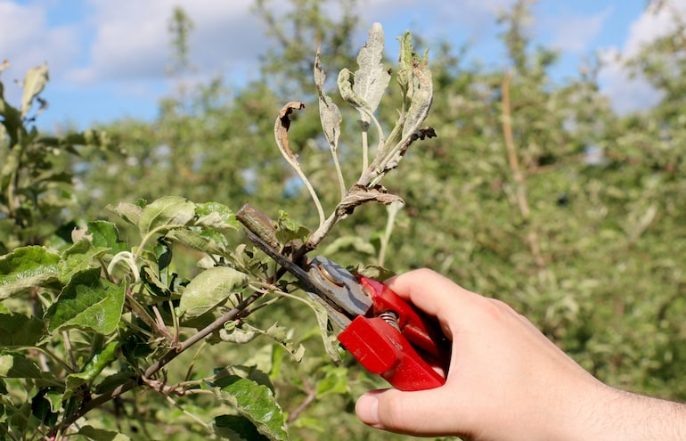 mechanical removal of plant affected by powdery mildew