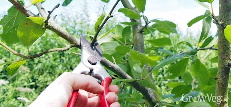 hand pruning plum tree