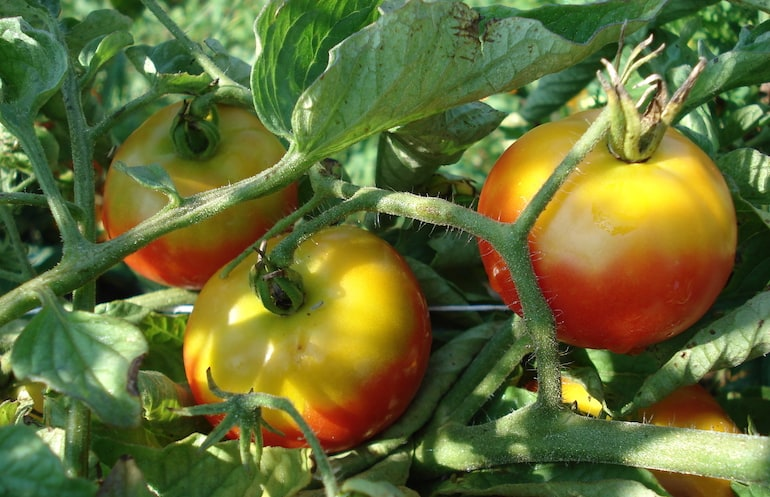 greenback on tomatoes on a vine