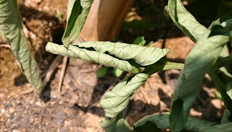 tomato leaf curl image