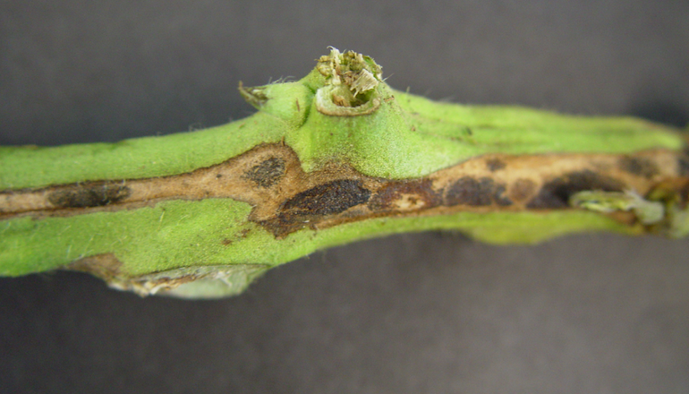 interior of a tomato stem with canker
