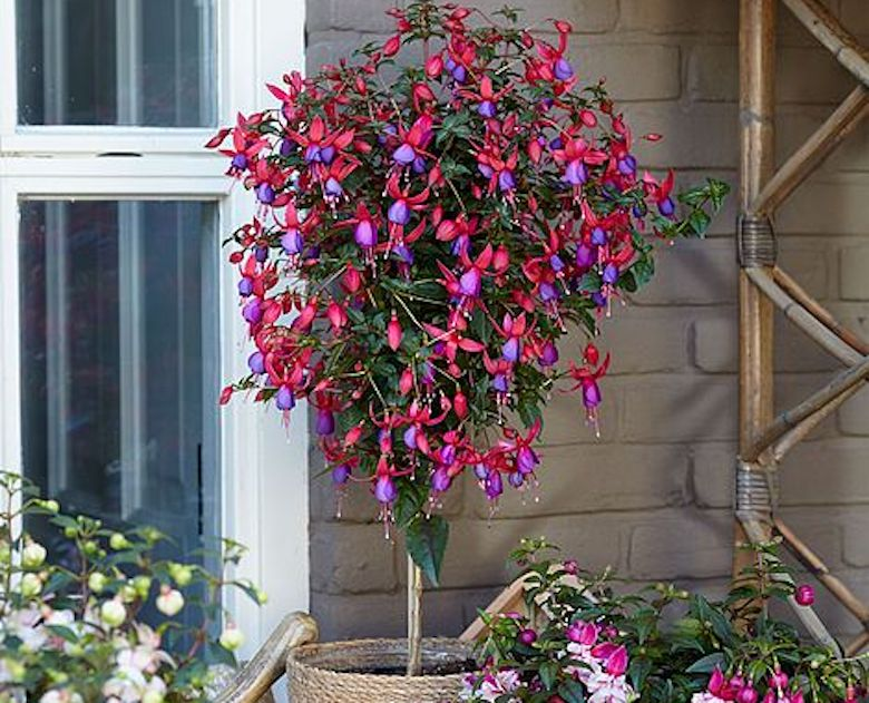 popular fuchsia varieties