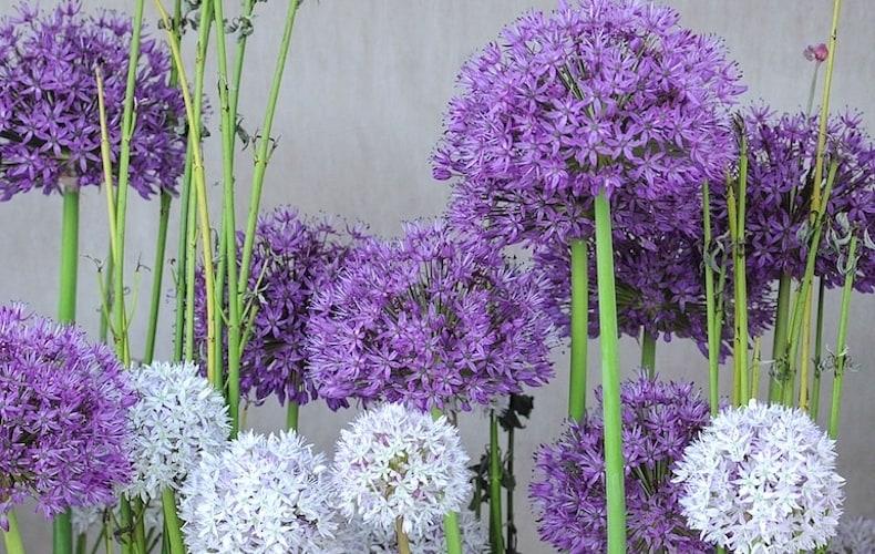 Allium 'Big Impact Mixed' from Thompson & Morgan