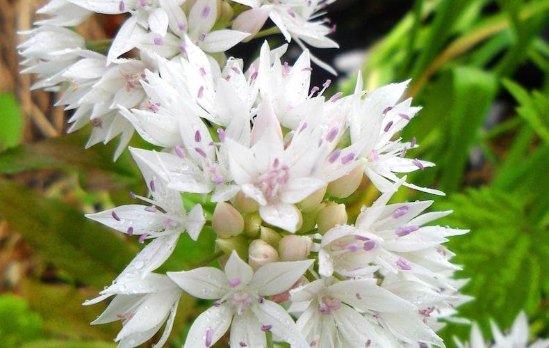 Allium 'Graceful Beauty' from Thompson & Morgan