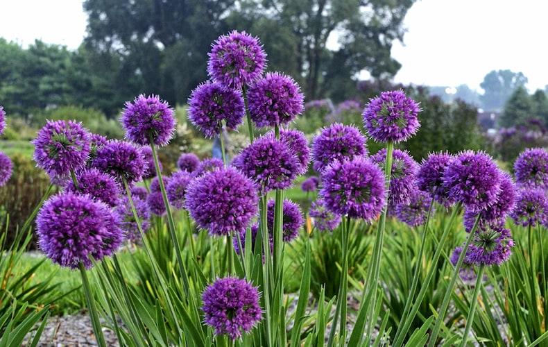 Allium 'Lavender Bubbles' from Thompson & Morgan