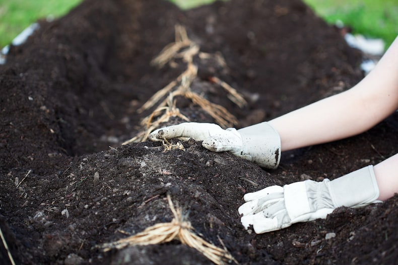 planting asparagus crowns in raised beds