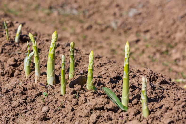 asparagus growing in a brown soil field