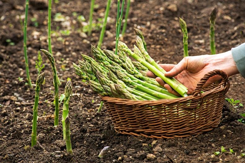Freshly harvested asparagus in basket