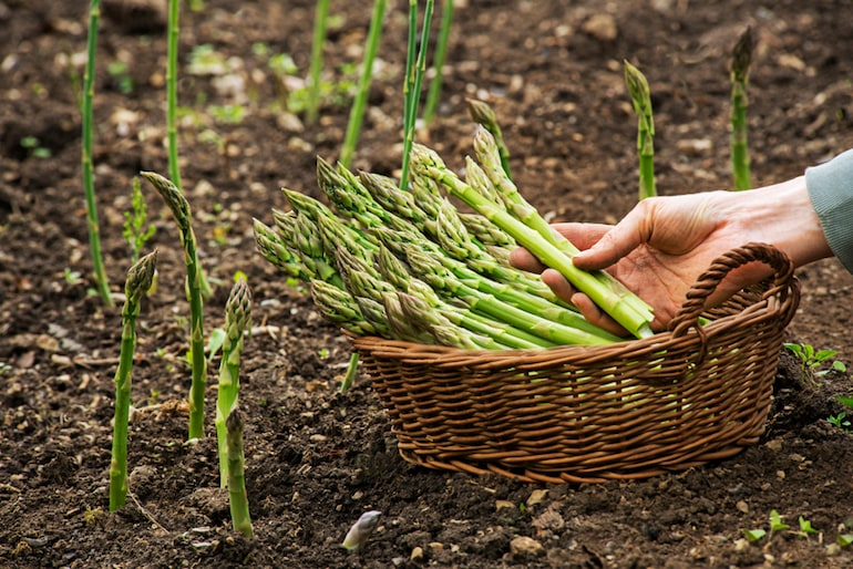 brown field with asparagus and basket full of asparagus stalks