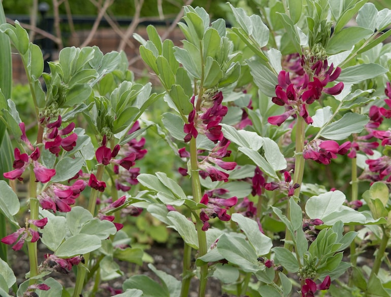 crimson flowered broad bean with red