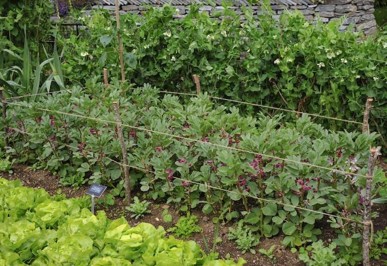 rows of broadbeans tied together with string