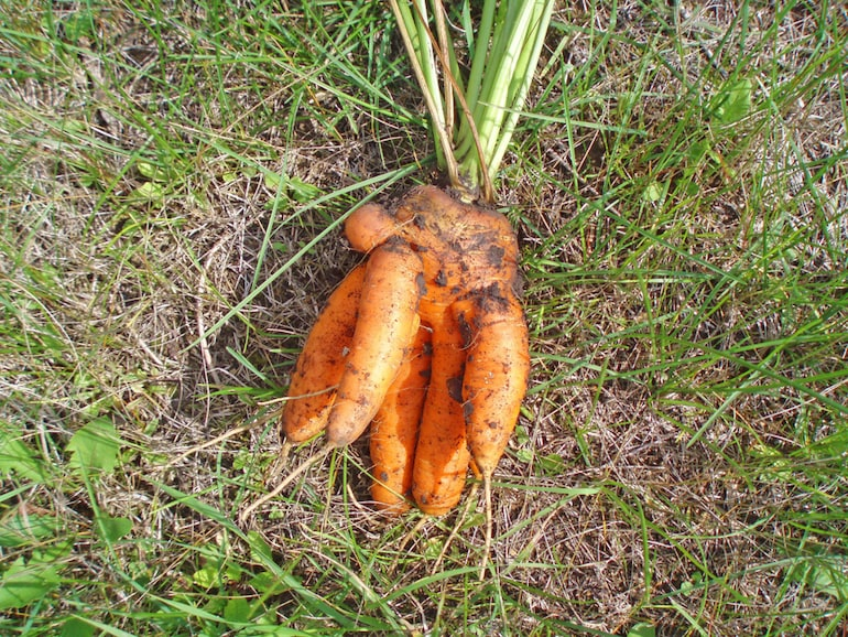 forked carrot on the ground