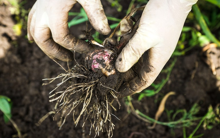 checking for white rot or rust when harvesting garlic