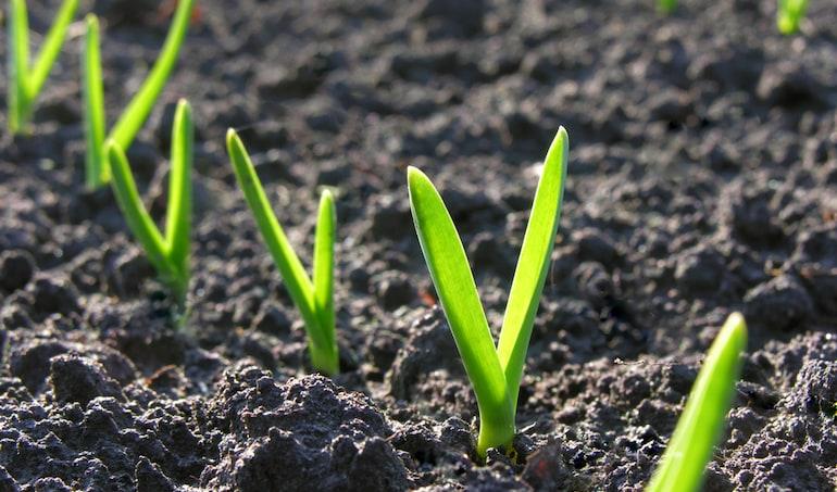 garlic sprouting in soil