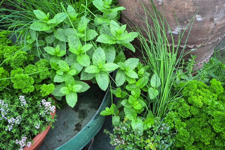 collection of edible green herbs including mint, chives and thyme