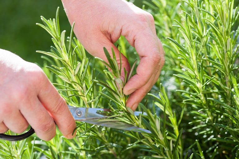 close up of a woman's hands gathering fresh rosemary