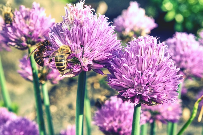 closeup of honey bee on a purple chive flower