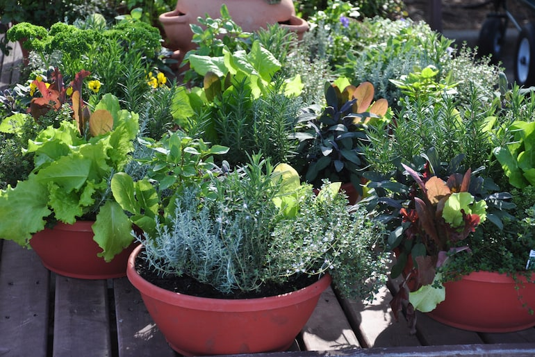 herbs growing in sunlight in pots and containers