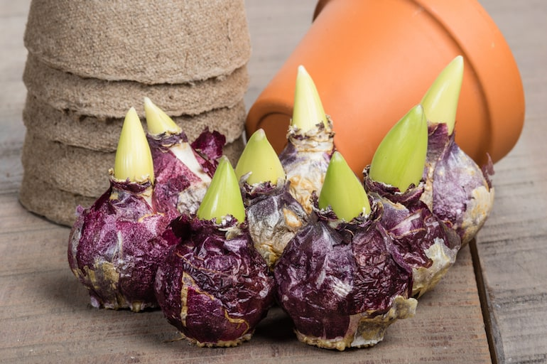 hyacinth bulbs ready for planting