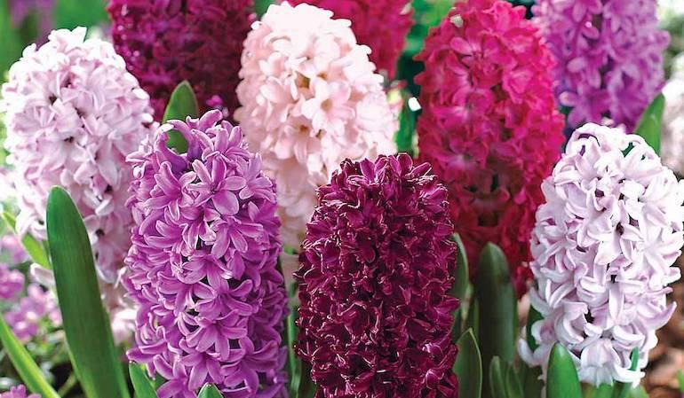 How To Grow Hyacinths Thompson Morgan